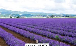 Những cánh đồng oải hương ngút ngàn trên đất Nhật Bản