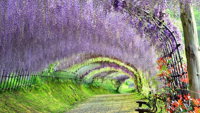 <p> Vườn hoa tử đằng Kawachi nằm ở tỉnhFukuoka, là điểm đến nổi tiếng của Nhật Bản vào dịp tháng 4. Nơi đây trồng khoảng 150 cây hoa tử đằng với 20 loại khác nhau. Khi nở rộ, chúng rủ xuống thành đường hầm hoa màu trắng tím hút hồn khách tham quan.</p>