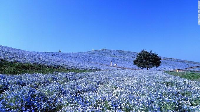 <p> Công viên ven biển Hitachi nằm ở quận Ibaraki nổi tiếng với hơn 4 triệu bông hoanemophila. Cuối tháng 4, đầu tháng 5, khi hoa nở rộ, những ngọn đồi trong công viên phủ một màu xanh tím ngút ngàn và đẹp mắt. Ngoài ra, diện tích190 ha của công viên cũng liên tục thay đổi màu sắc theo mùa.</p>