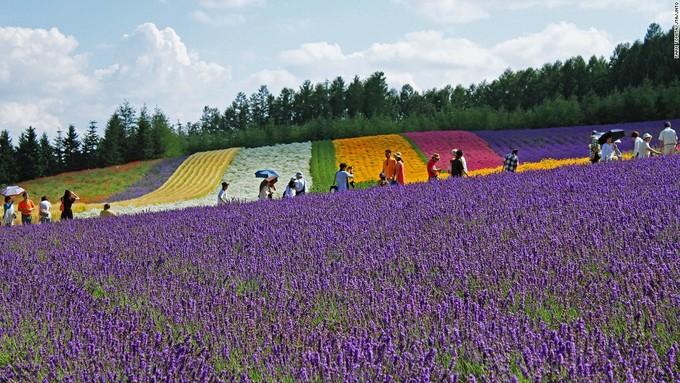 <p> Trang trại Tomitaở Hokkaido có 3 nơi trồng hoa oải hương là khu phía Đông, cánh đồngSakiwai và vườn hoa lavender truyền thống. Riêng cánh đồng Sakiwai có 4 loại oải hương trồng theo hàng, tạo thành một thảm hoa rực rỡ.</p>