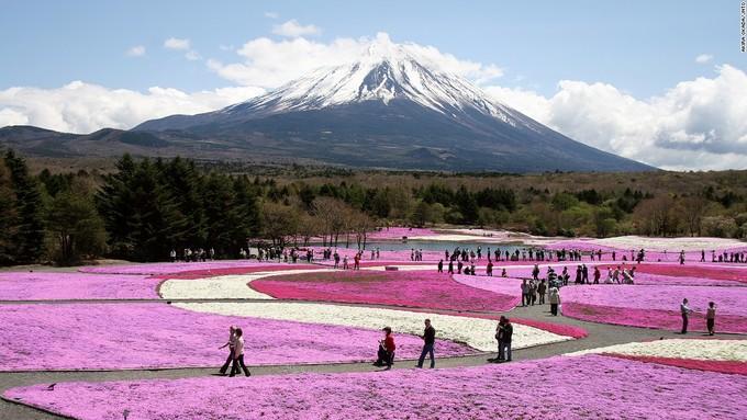 """<p class=""""Normal""""> Dưới chân núi Phú Sĩ là một thảm hoa với hơn 800.000 cây shibazakura đủ màu nở rộ gồm hồng, trắng, tím. Hàng năm, khi bông hoa đầu tiên chớm nở cũng là lúc hàng nghìn du khách đổ về khu vực Ngũ Hồ để tham gia lễ hội Shibazakura Phú Sĩ. Năm nay, dự kiến bông hoa đầu tiên sẽ nở vào ngày 18/4.</p>"""