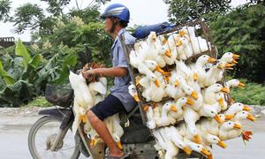 Xe Việt chở vàng mã, vịt quá tải lên báo Mỹ