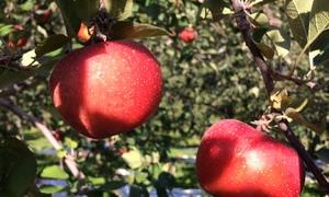 Điều cần biết khi hái táo tại vườn ở Hàn Quốc
