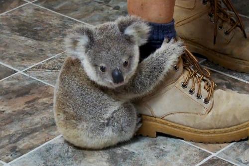 gau-koala-leo-len-chan-du-khach-vi-tuong-la-than-cay