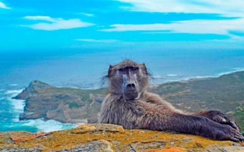 Khi đang thực hiện tấm hình chụp phong cảnh mũi Hảo Vọng (Nam Phi), nhiếp ảnh gia Punam Dave đã có một phen giật mình khi chú khỉ đầu chó gắt gỏng, ngồi phắt trước máy ảnh của cô.