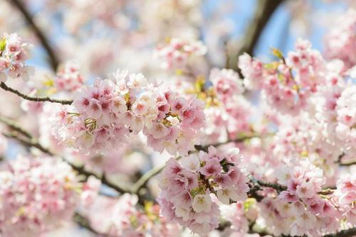 Các khu vực ở miền Nam ấm áp như Okinawa hoa anh đào có thể nở từ cuối tháng 1 trong khi vùng Hokkaido phía Bắc, hoa có thể nở vào tháng 5