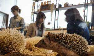 Quán cà phê nhím gai độc đáo ở Tokyo