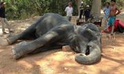 Voi gục chết vì kiệt sức khi cõng khách ở Angkor Wat