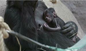Vườn thú bất ngờ vì khỉ đột béo ú bỗng sinh con