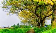Con đường hoa điệp rực vàng ở ngoại ô Hà Nội