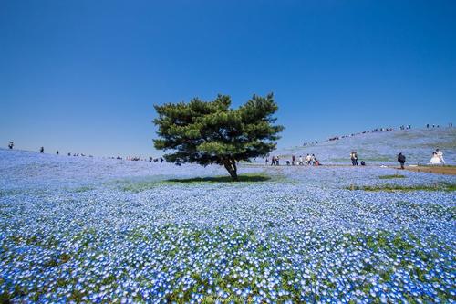 Rừng Hoa Mắt Xanh Nở Rộ ở Công Viên Nhật Bản Vnexpress Du Lịch