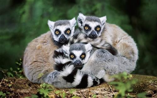Madagascar cũng là nhà của trên 200.000 loài động vật hoang dã, trong đó có hơn 100 loài vượn cáo mà không thể tìm thấy ở bất cứ nơi nào trên thế giới, 350 loài ếch và 370 loài bò sát khác nhau, dễ dàng thỏa mãn niềm đam mê khám phá của bất cứ du khách nào. Ảnh: Telegraph.