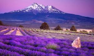 Sắc tím trên cánh đồng hoa oải hương mùa hè