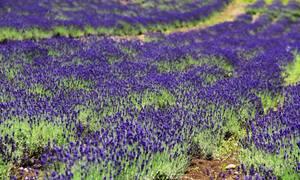 Cánh đồng hoa oải hương nở rộ giữa mùa hè Nhật Bản
