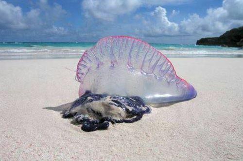 Portuguese man-of-war có tên khoa học là Physalia physalis. Đây là một loài trông giống như sứa, nhưng không phải là loài sứa mà là loài siphonophore. Nó là một quần thể gồm nhiều cá thể nhỏ sống cộng sinh với nhau. Bên trong chứa đầy khí và nằm trên mặt nước nên trông loài này giống như một chiếc thuyền với cánh buồm căng gió. Ảnh: Bangkokpost.