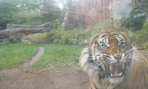 Du khách hết hồn vì hổ vồ trong sở thú
