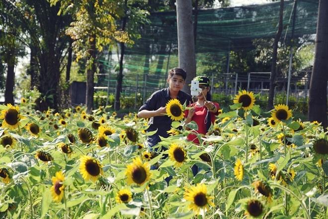 Vườn hoa hướng dương cách Sài Gòn một giờ chạy xe