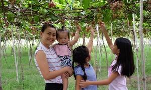 Du khách tham quan, ăn nho miễn phí ở Ninh Thuận