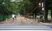 Hươu Nhật Bản biết chờ đúng đèn mới sang đường