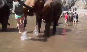 Nữ du khách bị hất tung khi tắm cho voi