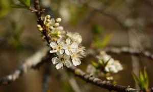 Mộc Châu 'lỡ' mùa hoa mận nở trắng như tuyết