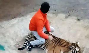 Nhân viên vườn thú Trung Quốc kéo đuôi, cưỡi hổ