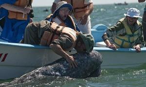 Cá voi xám quấn quít du khách không muốn rời