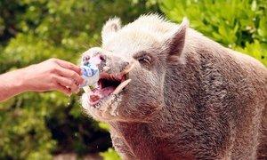 Lợn biết bơi tại Bahamas chết, nghi bị du khách chuốc rượu bia