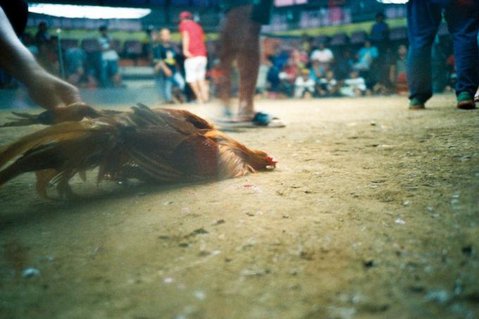 Sự thật đằng sau những trận đá gà ở Philippines