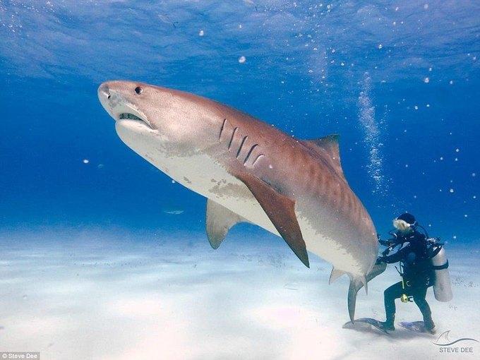 Du khách liều mạng vuốt đuôi cá mập để chụp ảnh