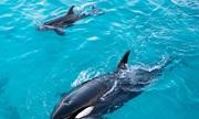 Du khách sốc khi chứng kiến cảnh người dân giết thịt cá voi