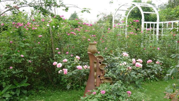Khu vườn 300 giống hoa hồng ngoại mở cửa miễn phí ở Hà Nội
