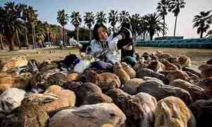 Bí ẩn về hòn đảo nơi thỏ đông hơn người tại Nhật Bản