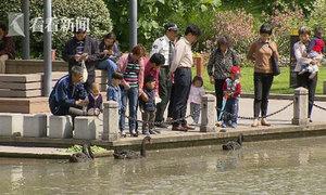 Khách Trung Quốc trộm thiên nga trong công viên về ăn thịt