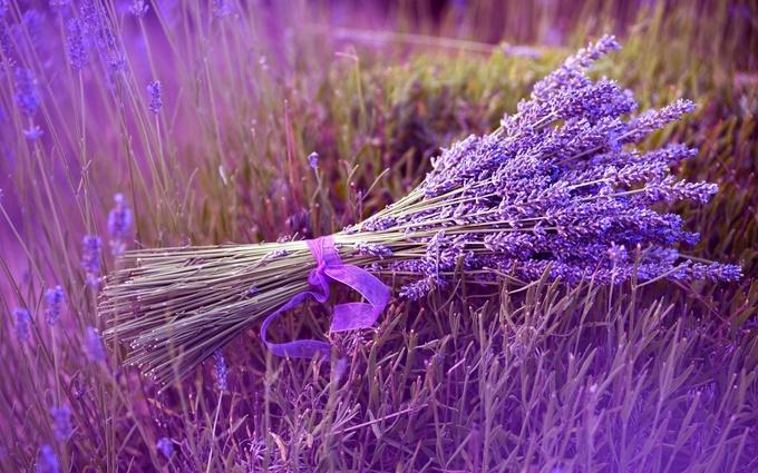 Thiên đường oải hương tràn sắc tím giữa lòng Provence