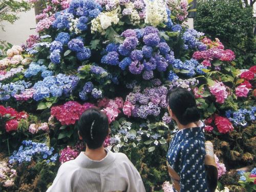 Bunkyo   Lễ hội hoa cẩm tú cầu ở Bunkyo, trung tâm Tokyo có tới 3.000 cây hoa cùng nở rộ với nhiều sắc xanh, tím tràn ngập quanh công viên và đền Hakusan. Khu vực quanh Fujizuka (một gò đất đại diện đỉnh Phú Sĩ) là nơi có những bụi hoa cẩm tú cầu đẹp nhất nở suốt thời gian này nên là địa điểm được yêu thích nhất. Vào cuối tuần, nhiều quầy hàng được dựng lên, du khách vừa có thể xem buổi biểu diễn nhạc Ajisai nơi trẻ em địa phương hoặc các nhạc công, ban nhạc thể hiện. Vì chỉ là một gò đất nhỏ mà mùa mưa dễ trơn trượt, du khách cần chú ý khi đi lại, đồng thời có thể đông đúc mà du khách nên mang áo mưa dự phòng thay vì dùng ô. Lễ hội hoa cẩm tú cầu tại đây diễn ra vào tháng 6.