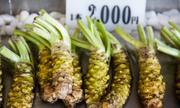 Bí mật của những cây wasabi cay nồng ở Nhật Bản