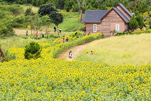 Đồng hoa hướng dương tại Dalat Milk Farm. Ảnh: Lam Phu Nghiem.