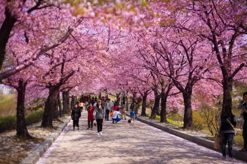 Tháng 4 tới đây du khách có thể trải nghiệm loại hình du lịch bằng máy bay riêng tới đất nước Hàn Quốc ngắm hoa anh đào đẹp nhất trong năm.