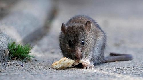 Một con chuột gặm mẩu bánh mì du khách vứt lại gần cầy Pont-Neuf bắc ngang sông Seine. Ảnh:Reuters.