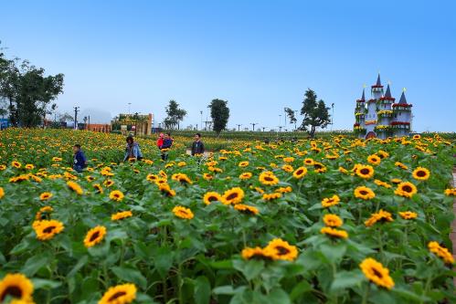 Không cần phải ghen tị với các bạn trẻ ở Nghệ An, giờ đây ngay giữa Hạ Long các tín đồ sống ảo có thể check-in khu vườn hoa hướng dương rộng 1.500 m2.