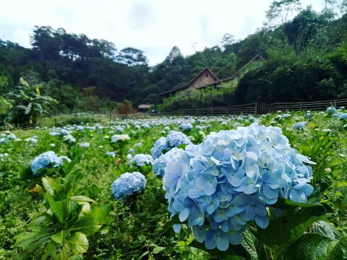 <p> <strong>Làng Cù lần</strong></p> <p> Cẩm tú cầu ở làng Cù lần được trồng thành một khu vườn nhỏ, đồng thời trồng xen kẽ cùng các tiểu cảnh của một ngôi làng ẩn giữa rừng thông xanh. Đây cũng là nơi du khách được ngắm nhiều kỳ hoa dị thảo khác của Đà Lạt. Ảnh: <em>Truonganct94</em>.</p>
