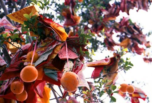 Hàng nghìn quả cam nhỏ cùng lời ước được treo trên cây Ước nguyện. Ảnh: Temple U Abroad.