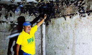 Người sống chung với 80.000 con chim yến ở Philippines