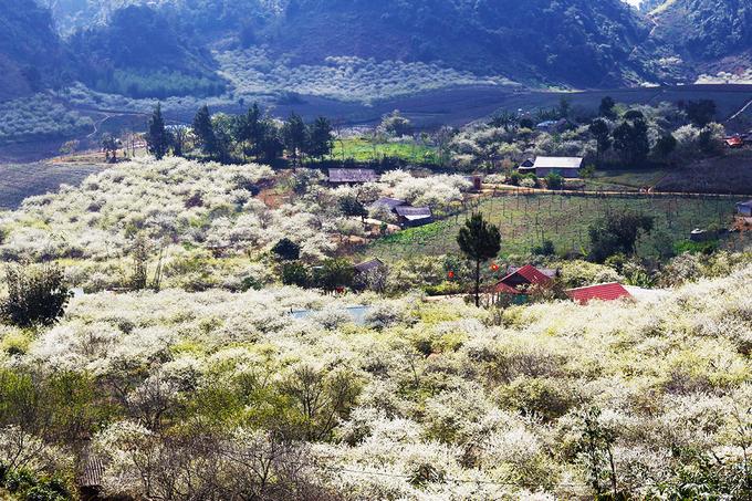 """<p class=""""Normal""""> Hoa mận chỉ rực rỡ trong khoảng 2 - 3 tuần vào tháng 1, 2. Đây là loài hoa đặc trưng của cao nguyên Mộc Châu. Hoa không chỉ đẹp bởi vẻ mỏng manh mà khi đã nở, hoa sẽ bung ra ào ạt, tạo nên khung cảnh đẹp hút hồn.</p>"""