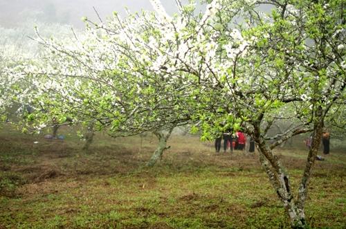 Đầu năm còn là thời điểm hoa mận phủ trắng núi đồi Mộc Châu. Ảnh: Hương Chi.