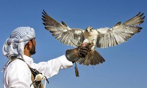 Nghề huấn luyện chim ưng ở Dubai