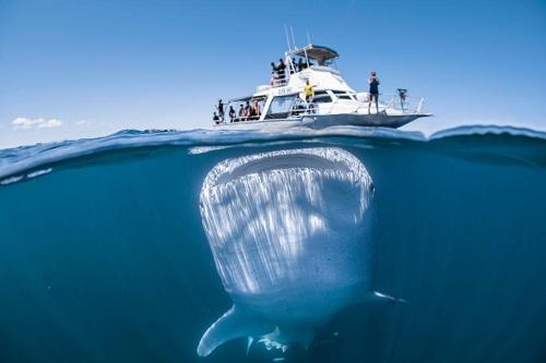 Những du khách trên thuyền bất ngờ khi thấy con cá mập voi phản ứng như vậy trước con người. Ảnh:Tom Cannon.