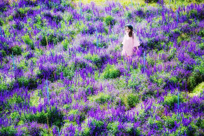 """<p class=""""Normal""""> Thửa hoa có màu tím xanh được lòng nhiều người hay bị lầm tưởng là hoa oải hương nhưng thực tế là hoa xôn xanh, hay còn gọi là hoa nữ hoàng xanh. Đây là loài hoa có lá hẹp sáng bóng, cây thân thảo lâu năm, hoa có màu tím xanh và thường được trồng ở nơi nhiều ánh sáng. Cây cao tầm khoảng 50 cm, nếu được chăm sóc tốt thì cây sẽ cho rất nhiều hoa.</p>"""