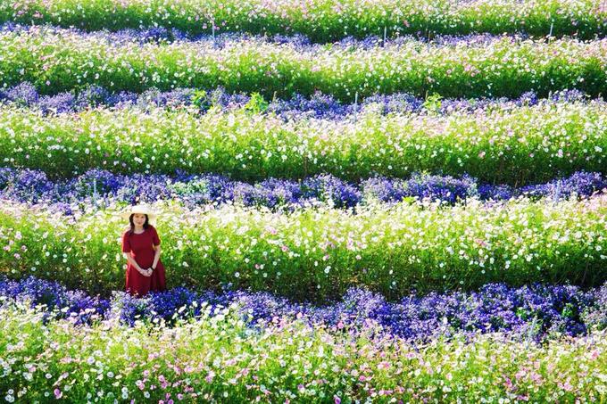"""<p class=""""Normal""""> Bên cạnh hoa xôn xanh, nơi đây còn có các loài như lưu ly, hồng ri, cánh bướm... Tùy điều kiện mà hoa được trồng xen kẽ hoặc tách riêng, tạo nên những dải màu bắt mắt nếu nhìn từ trên cao.</p>"""